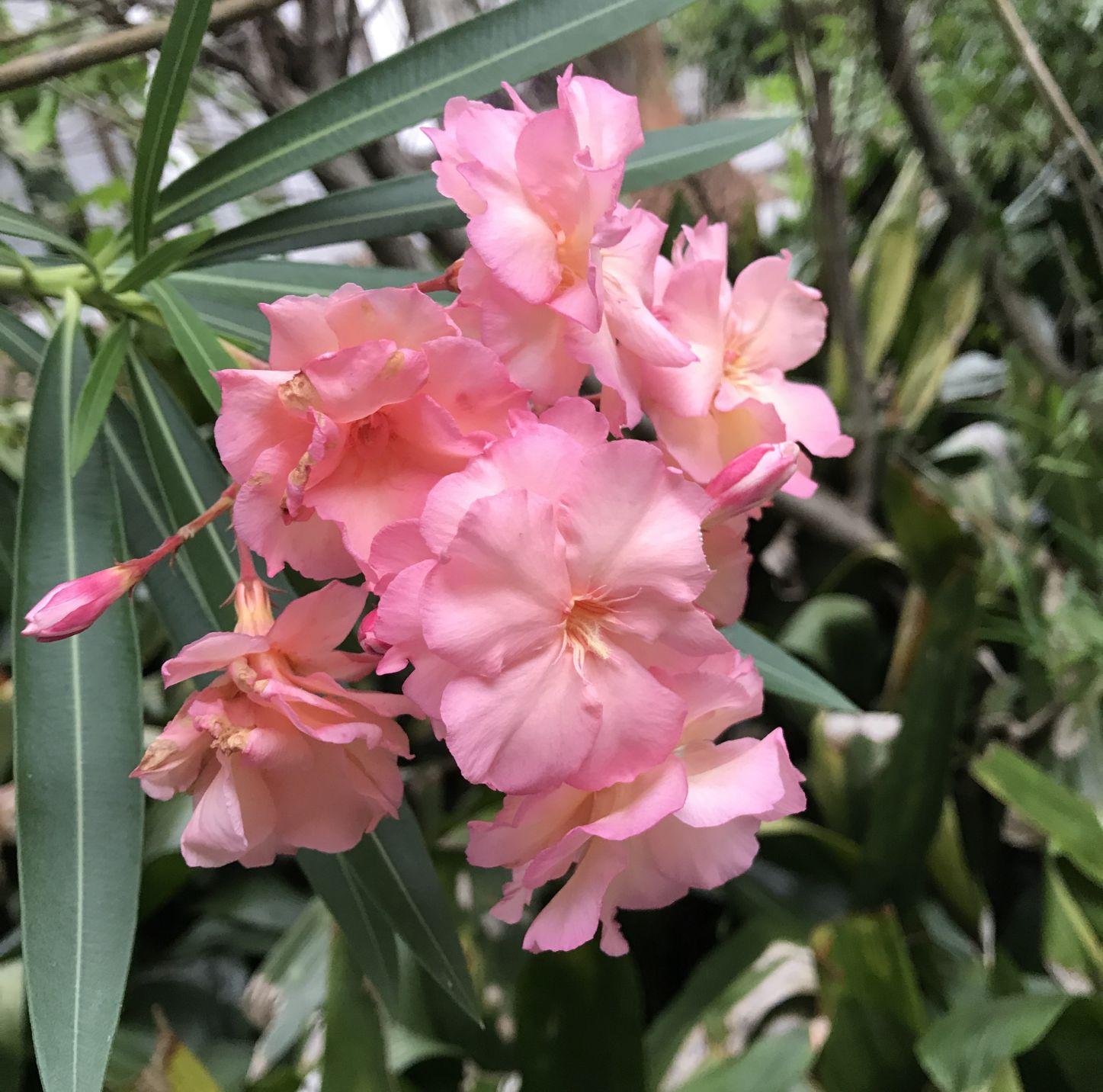 Oleander (flower): description, types, planting and care 84