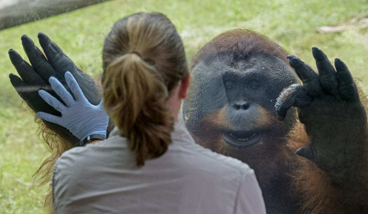 Audubon Zoo To Bid Farewell To Casey And Berani Gorilla And