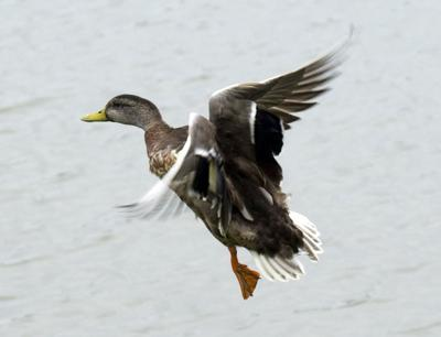 Wheeler Ducks