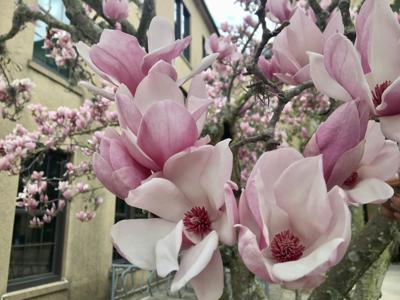 Rosy-pink flowers open to creamy white centers..jpg