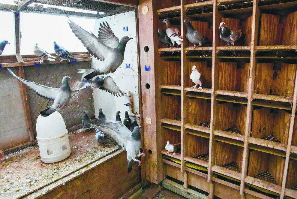 Many happy returns: Pigeon racers count on their birds to find the way home _lowres