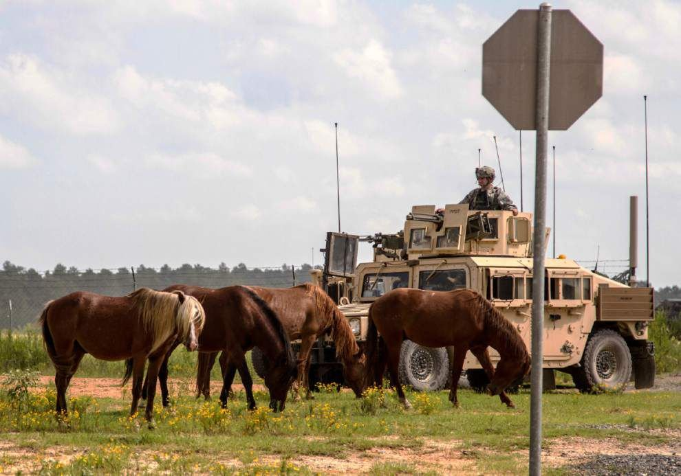 Army says feral horses roaming Louisiana's Fort Polk base a nuisance and a danger, and there's the manure ... _lowres