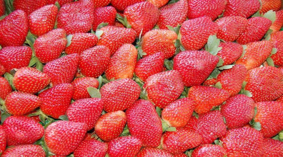Strawberry crop damage could be significant for farmers in Tangipahoa Parish and surrounding areas _lowres