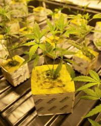 Louisiana medical marijuana delayed after state forced to do