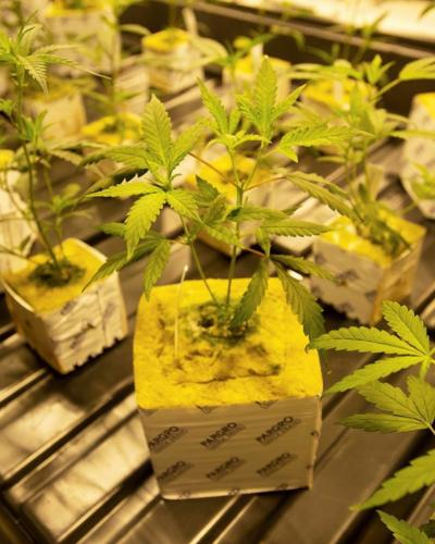 BR.marijuanalsu.adv.001