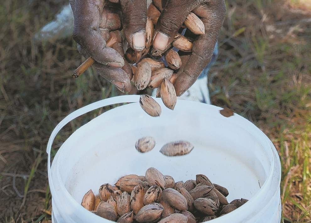 Pecans suited to Louisiana tables, back yards _lowres