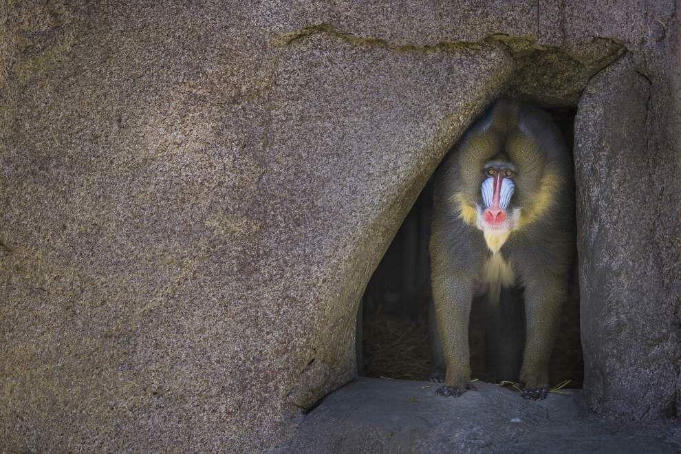 Audubon Zoo welcomes two exotic mandrills to primate exhibit _lowres