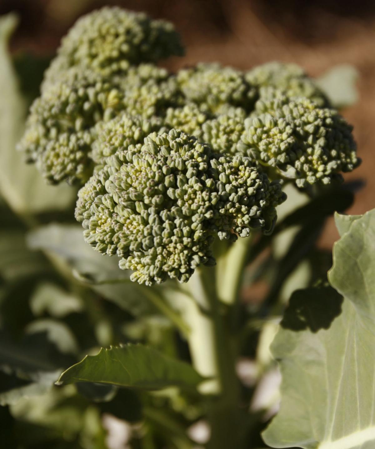broccoli.jpg (copy)