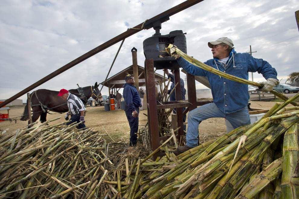 Angola inmates make sugar cane syrup the old-fashioned way _lowres
