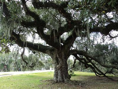Where exactly in City Park are the Dueling Oaks and theSuicide Oak?_lowres