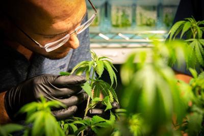 BR.marijuanalsu.adv.007
