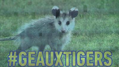 WATCH: Baby opossum scampers into outfield, delays LSU baseball while evading capture _lowres