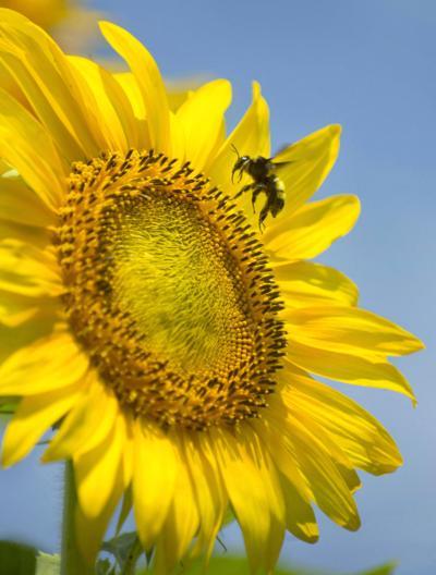 BR.wildartburdensunflowers775 CROP .adv.jpg for RED 051019
