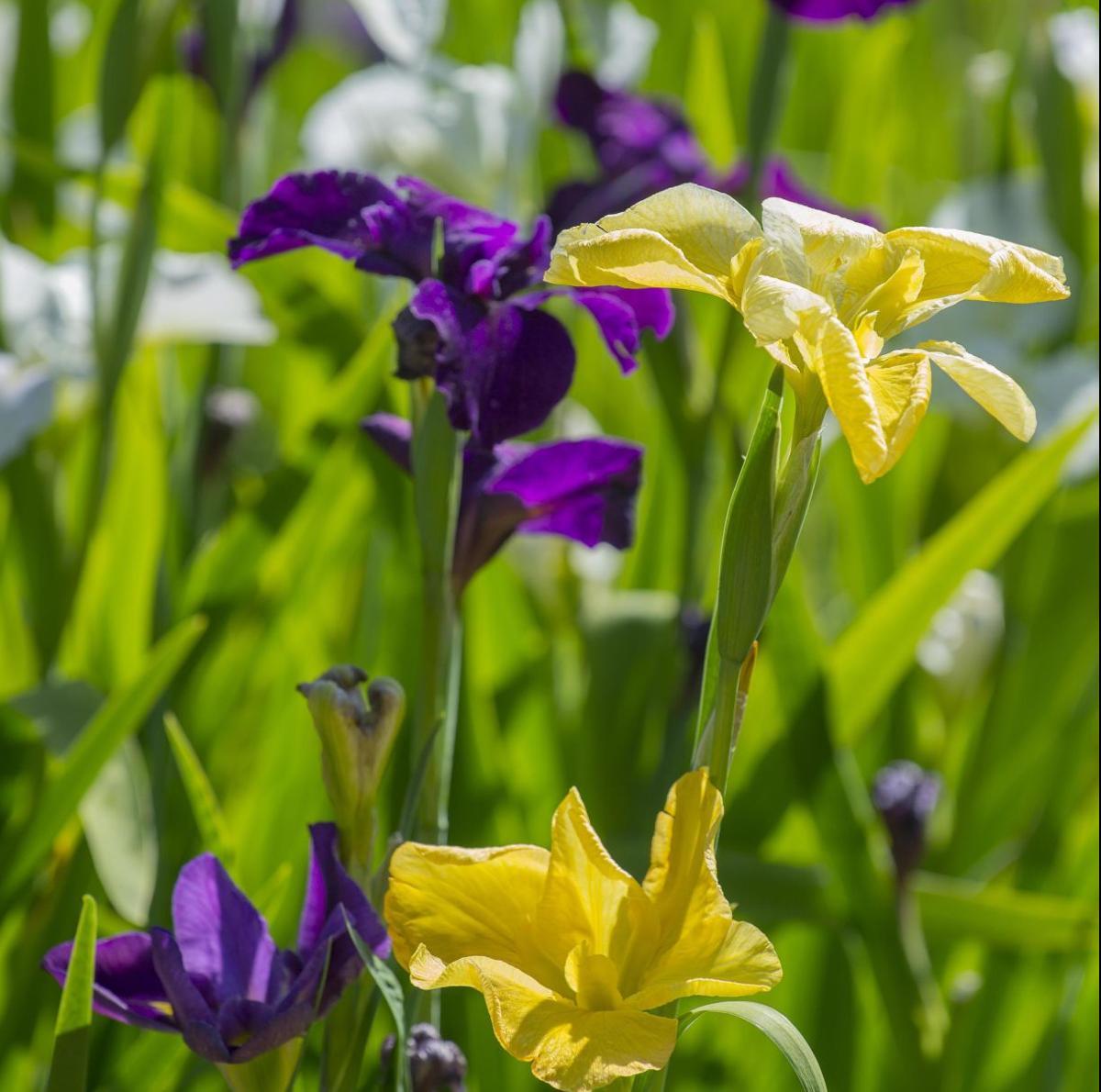 La irises jpg (copy)