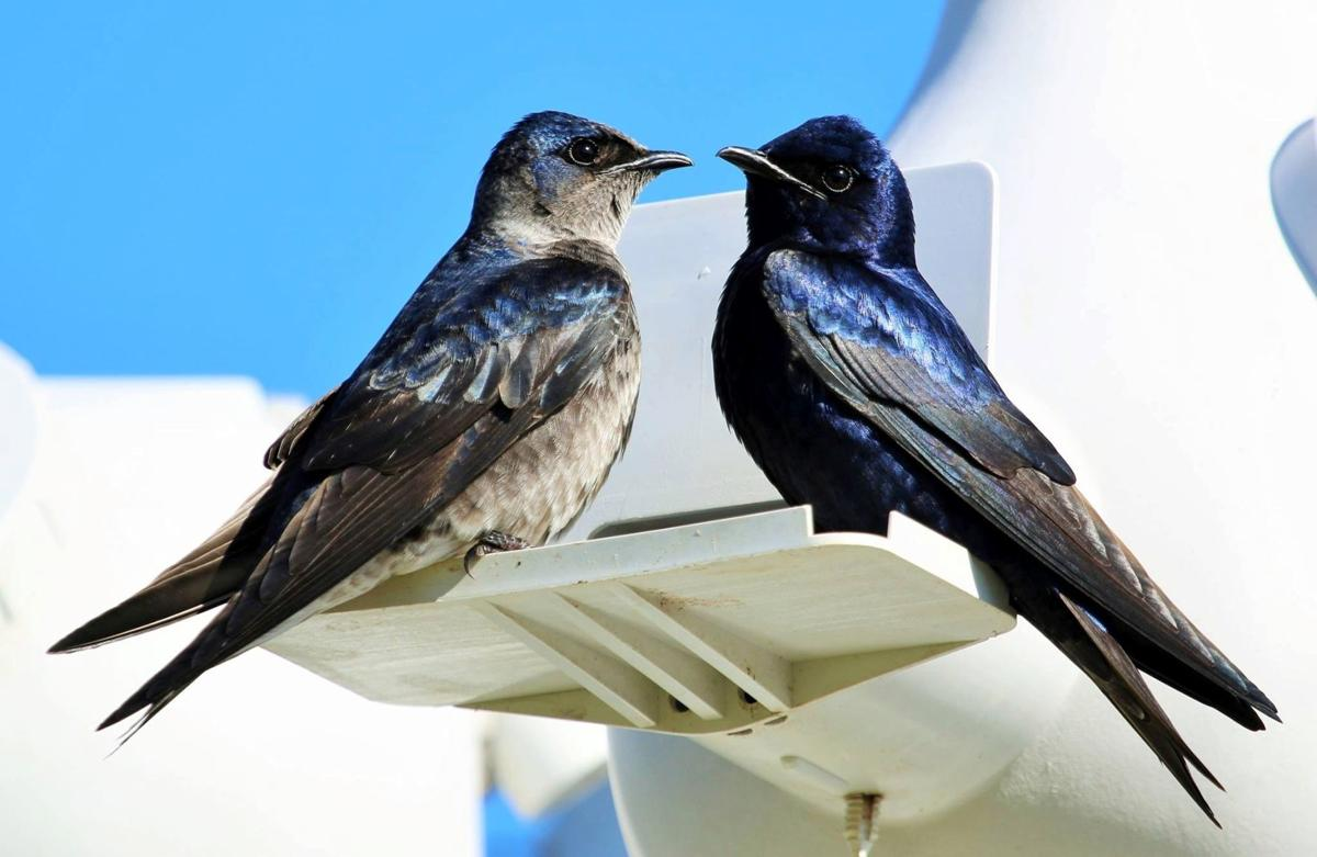 Purple martins are coming, and they need you to get their homes ready |  Home/Garden | theadvocate.com
