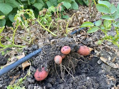 Potatoes are ready for harvest when the leaves begin to tur.jpg