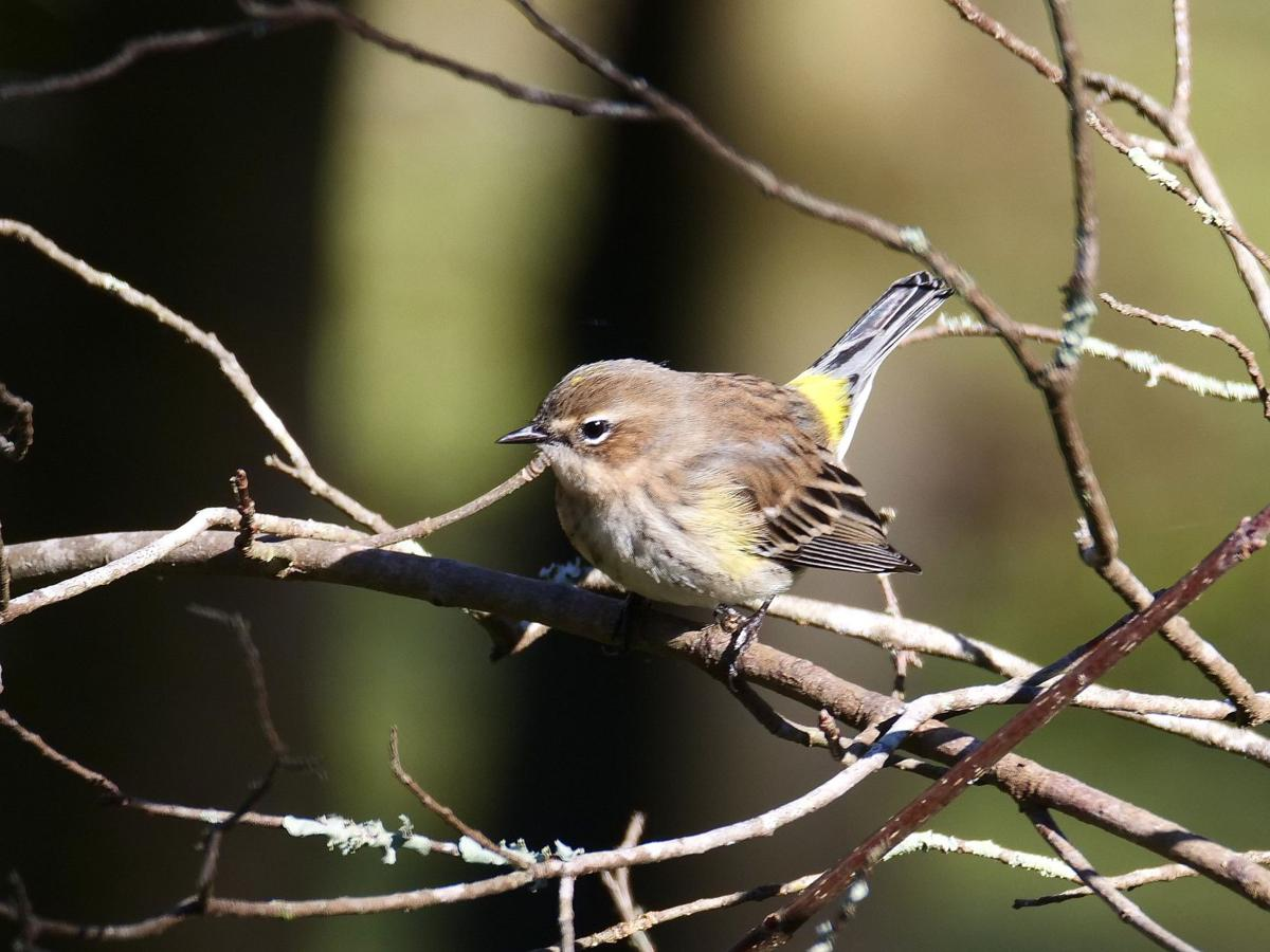 Yellow Rump Warbler.jpg