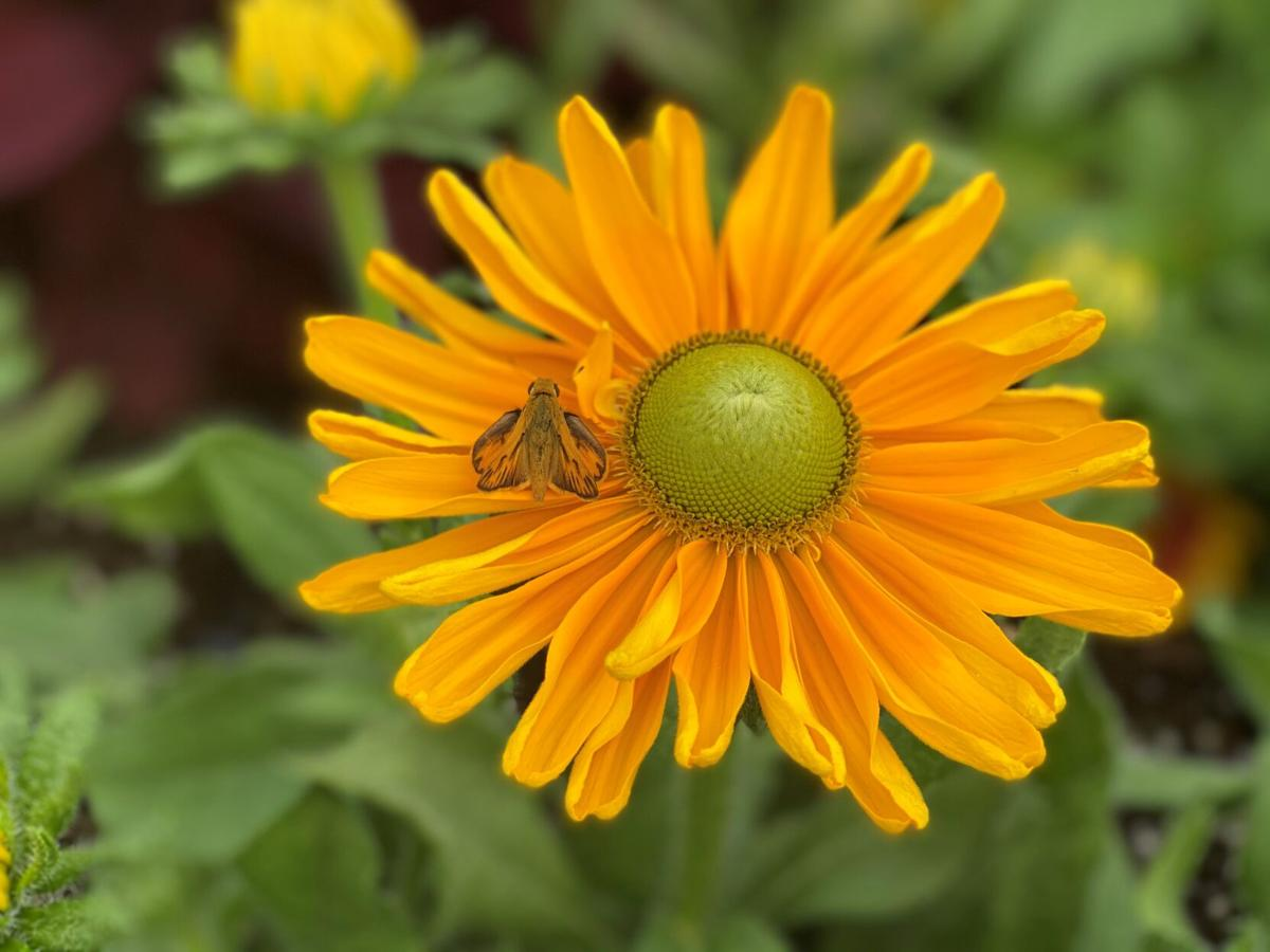 Zinnias attract all sorts of pollinators such as this moth.jpg