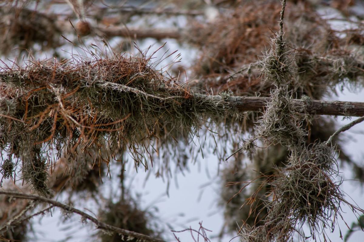 ball moss 2.jpg
