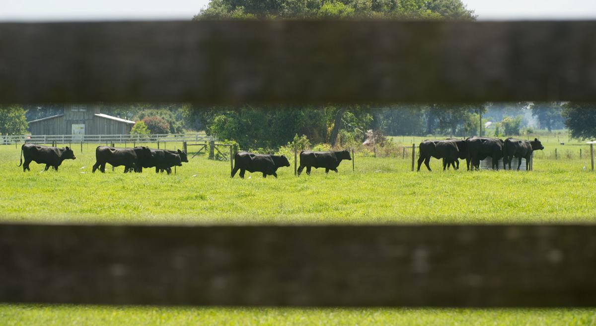 CattleReturned.063016  333 .jpg