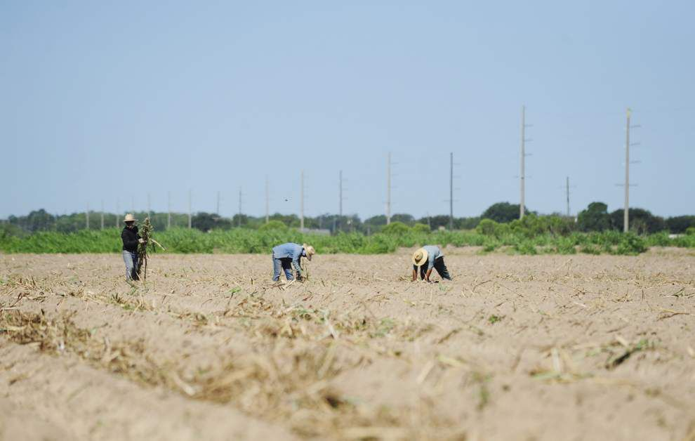 Extreme weather could affect sugar cane harvest this year _lowres