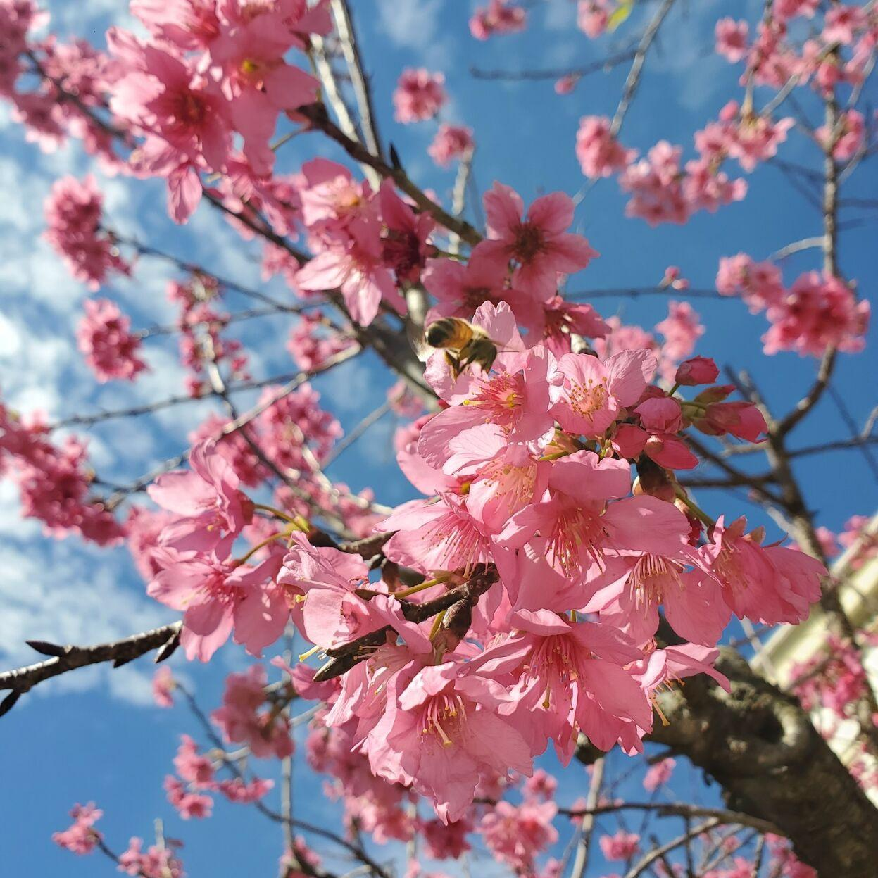 Lsu Garden News Cherry Trees Are Showstoppers In The Landscape Home Garden Theadvocate Com