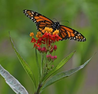 butterflies (copy)