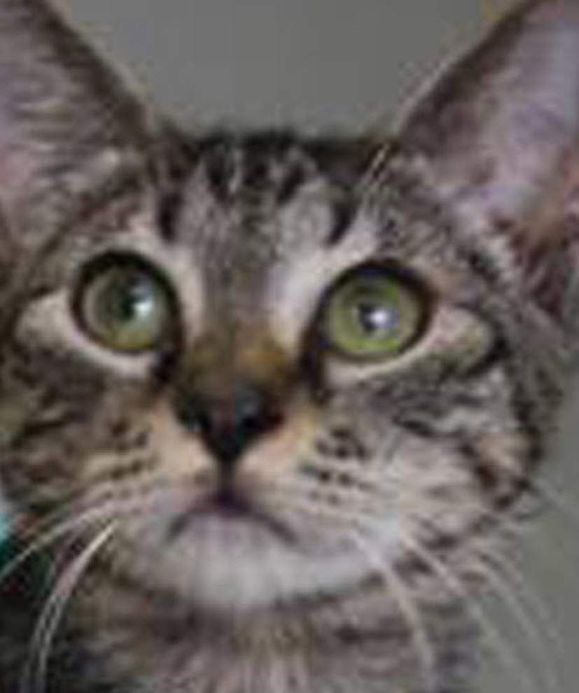 Mid City cats available for Oct. 15, 2015 _lowres
