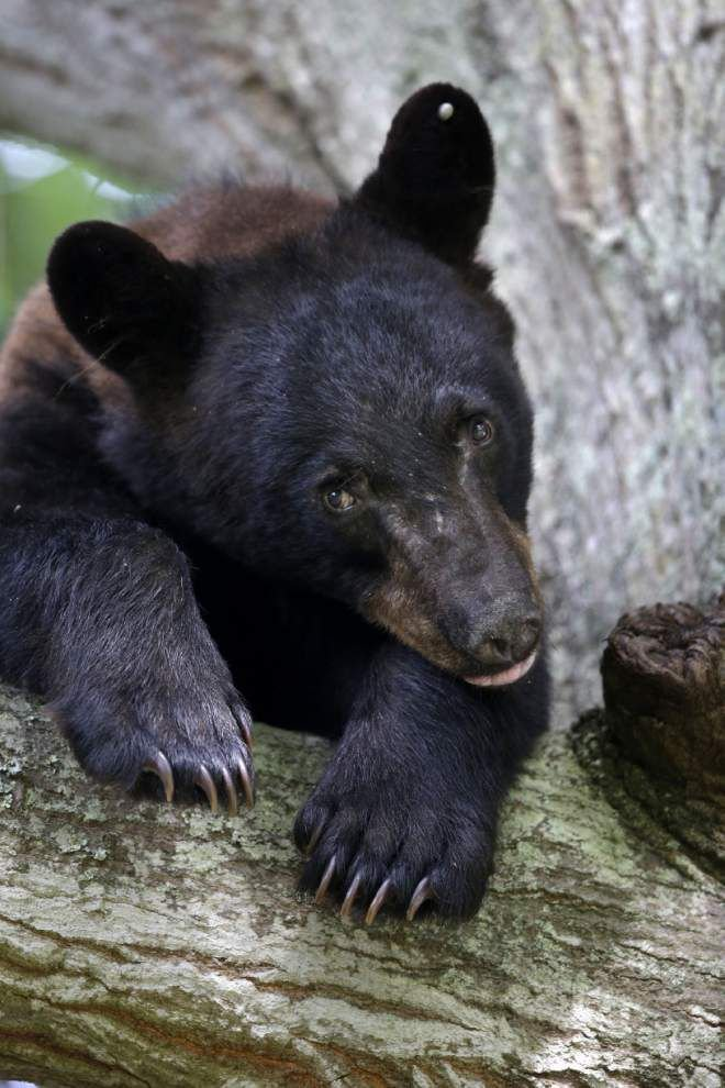 Process to remove Louisiana black bear from Endangered Species List takes another step Thursday _lowres