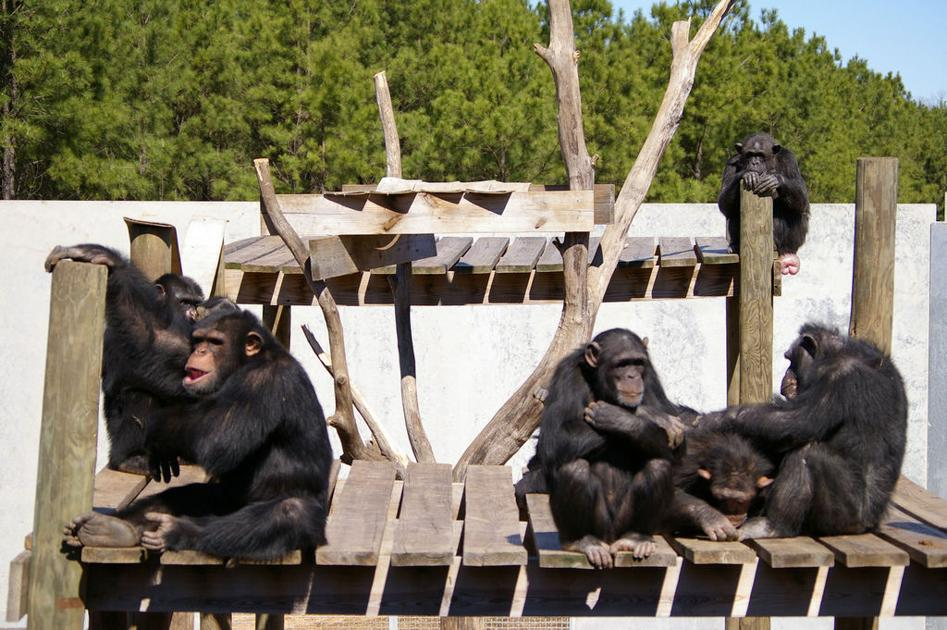 Louisiana chimp sanctuary to open to public this fall with 'Chimpanzee Discovery Days'