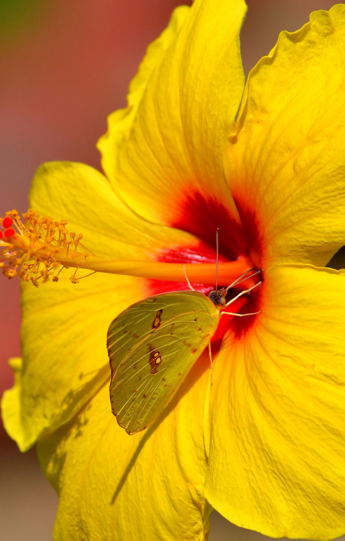 Hibiscus 1 (copy)