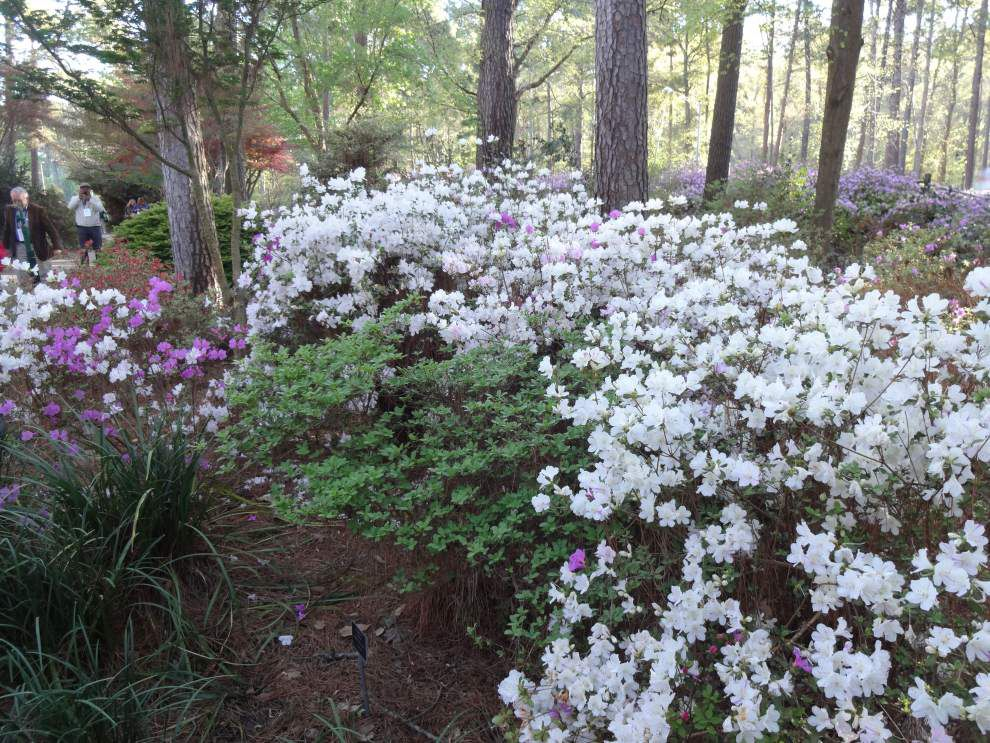 Garden News: Spring care important for azaleas _lowres