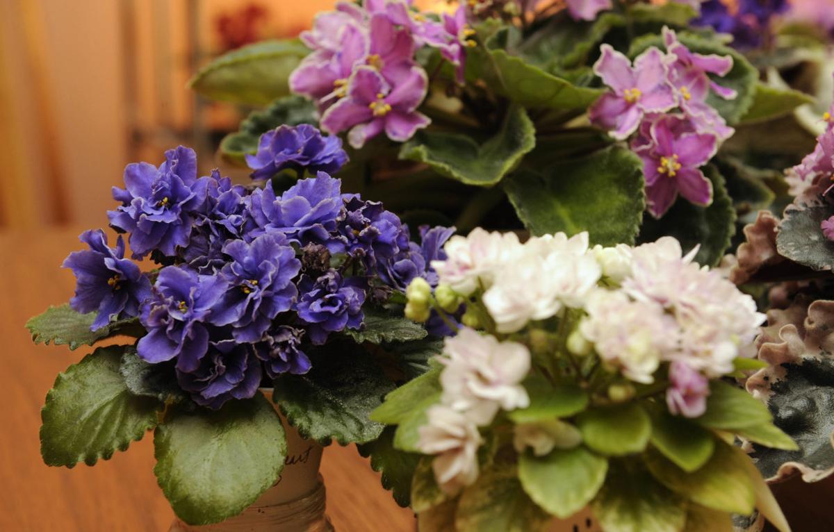 peo violets lc 0083.jpg (copy)