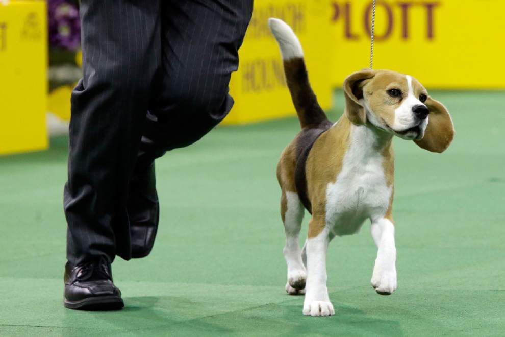Snoopy would be proud: Tail-wagging beagle wins best in show at Westminster _lowres