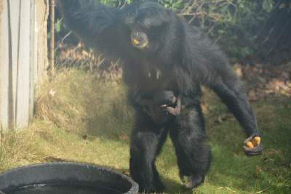 Endangered, musical siamang born at Baton Rouge Zoo with a song in its heart _lowres