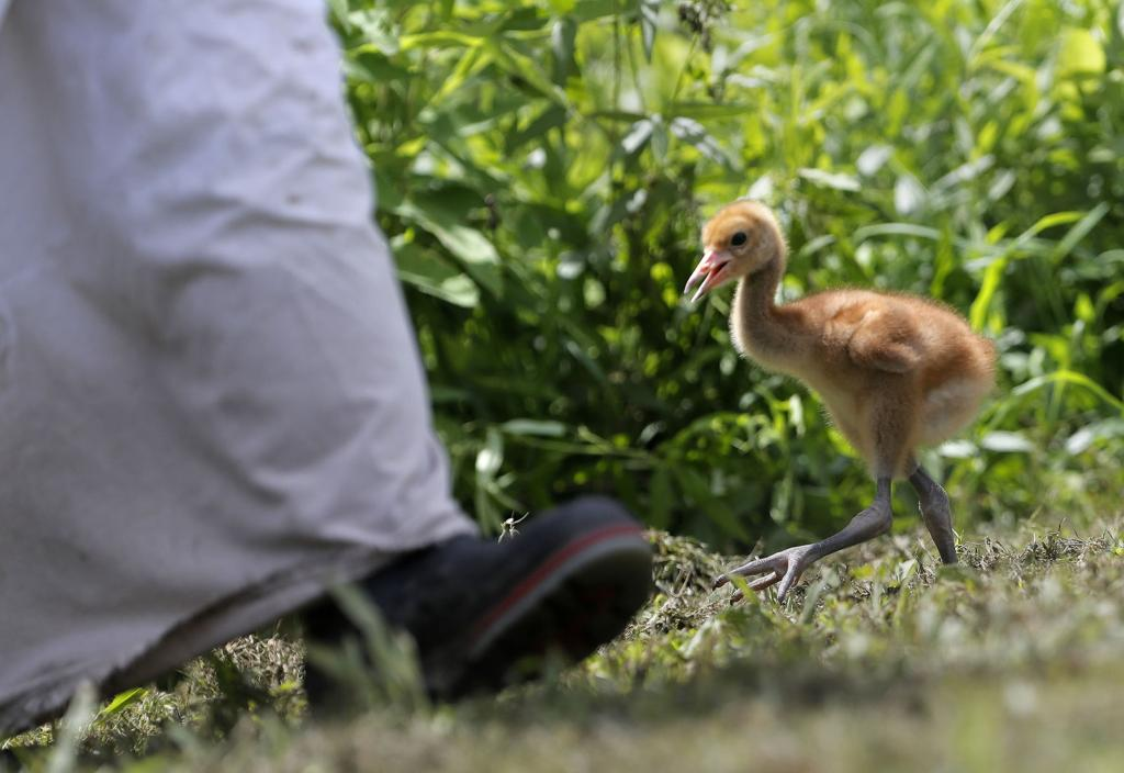 50 years after Louisiana state bird's reintroduction, brown