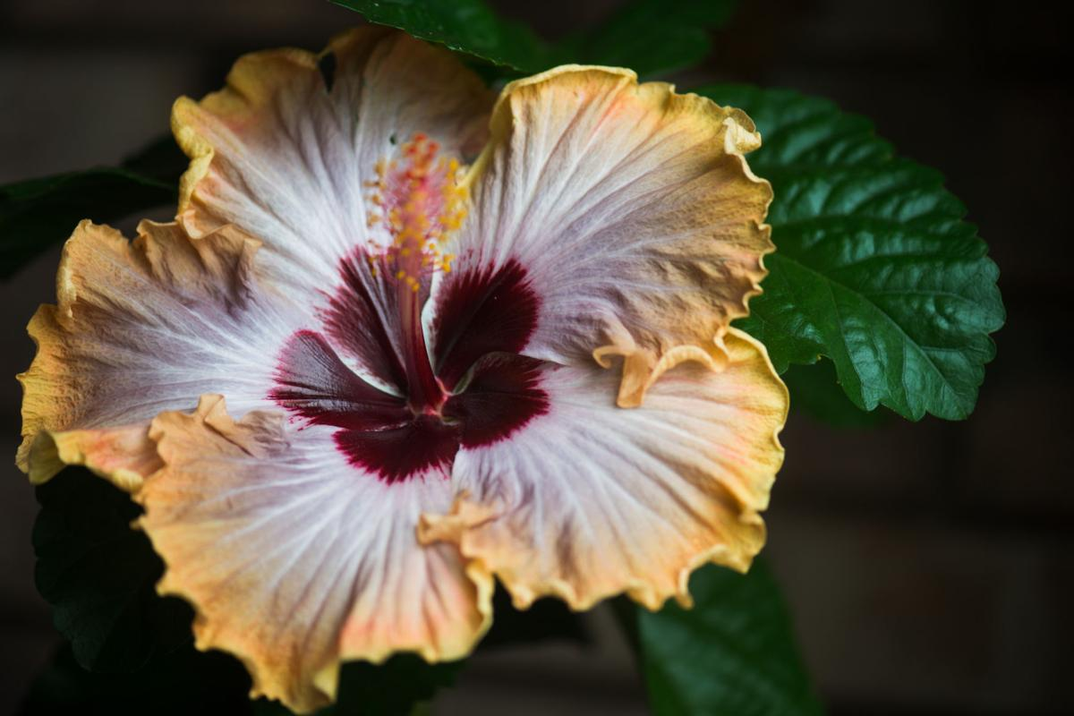 Love Blooms Hibiscus Is A Passion For Metairie Gardener Home