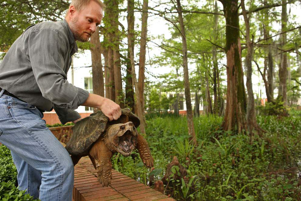 UL-Lafayette students get a rare chance to examine an alligator snapping turtle that strayed from her campus lake home _lowres
