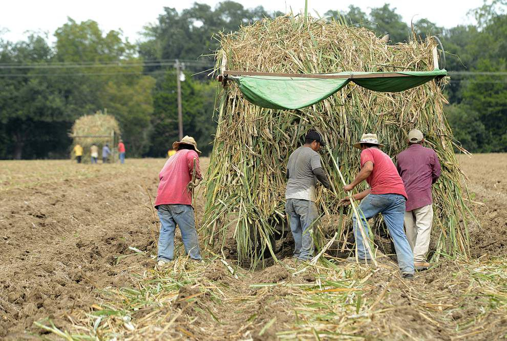 Acadiana sugar cane farmers turn to other crops as prices fall _lowres