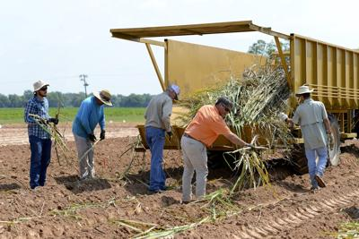 Sugarcane Moving North Louisiana