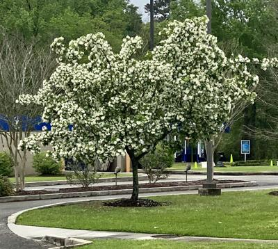 Lsu Garden News Chinese Fringe Trees Put On A Flower Show And