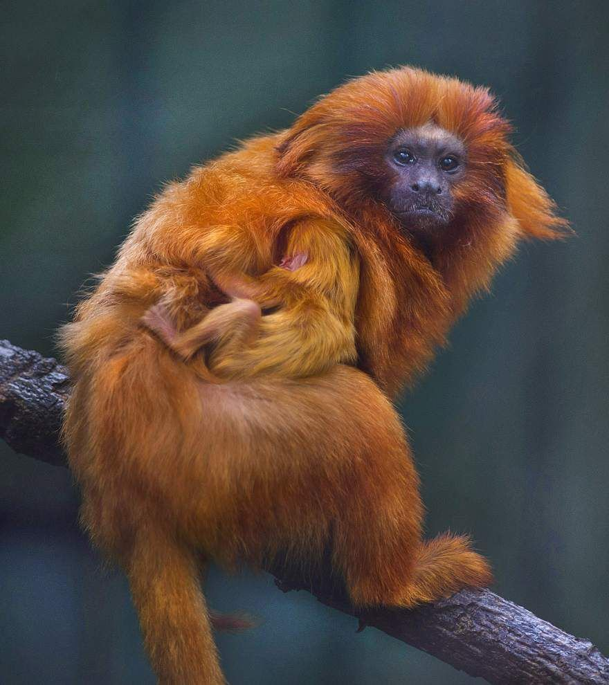 Baton Rouge Zoo welcomes new baby golden lion tamarin; monkey species is endangered _lowres