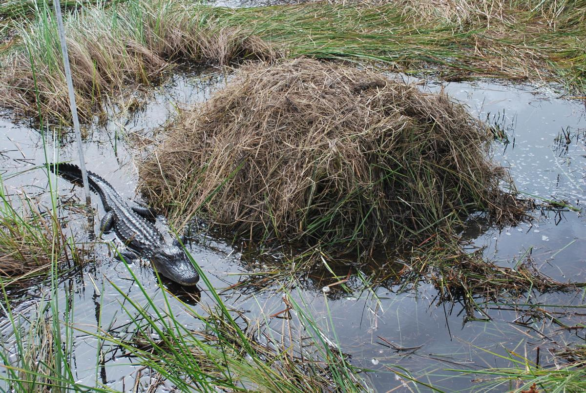 alligatornest