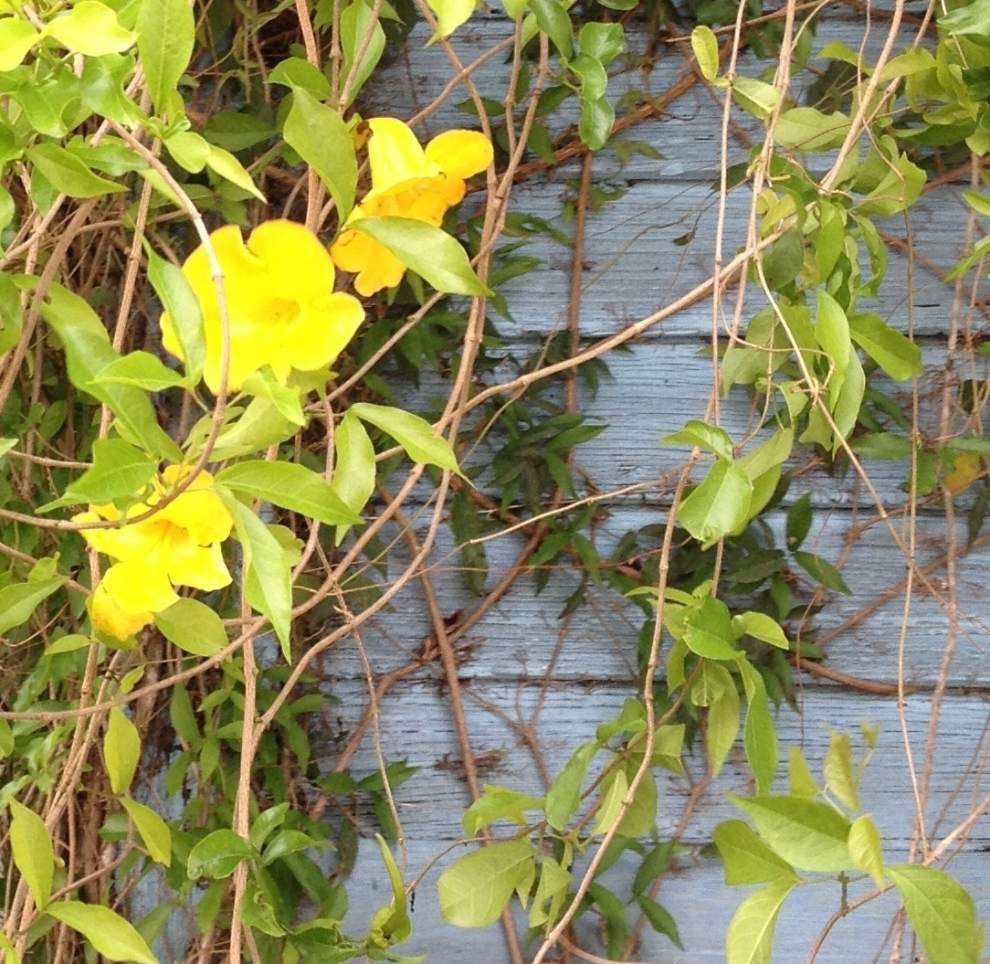 Cat's claw vine: The 'harbinger of spring' has its admirers _lowres
