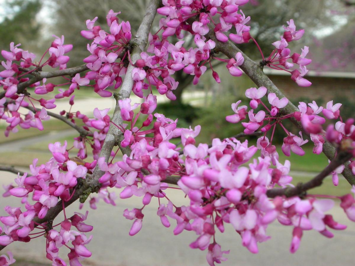 Blooming Redbuds Flowering Cherries Herald Spring In The South