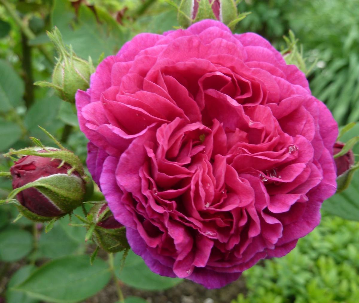 bourbon rose 1.jpg