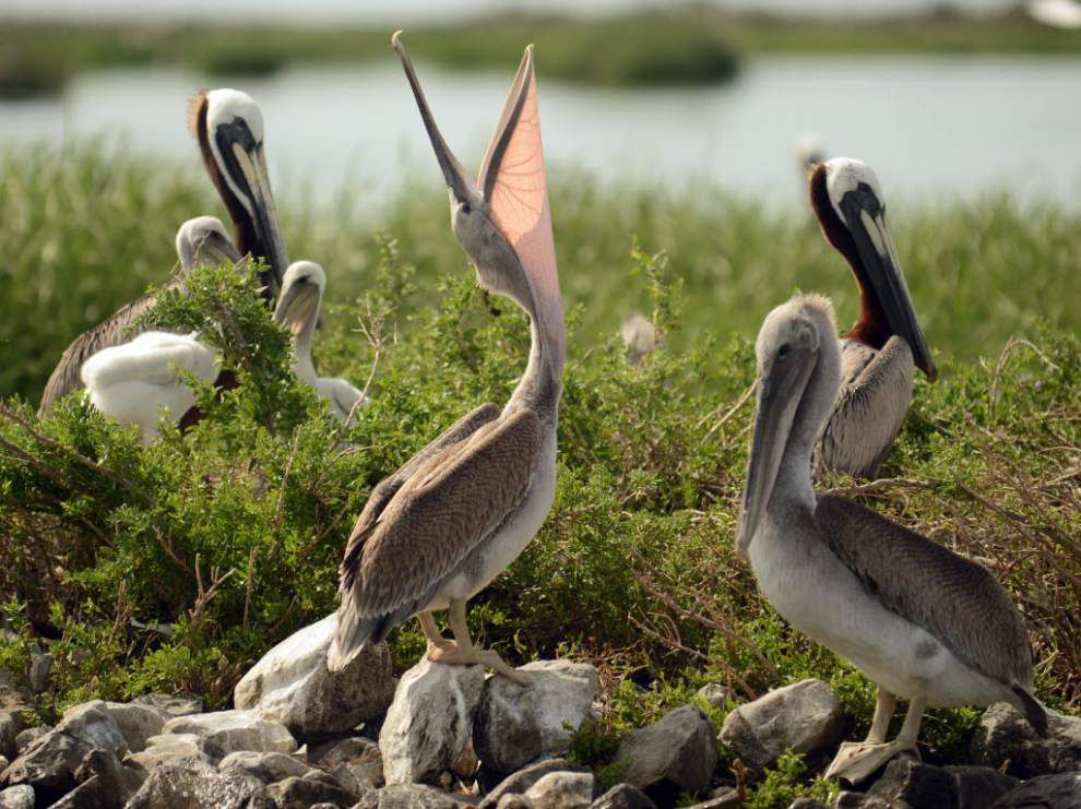 Global warming threatens brown pelicans _lowres