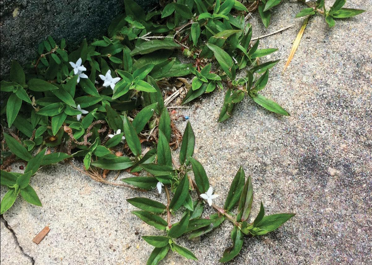 Garden News Get Ready To Tackle Virginia Buttonweed In Your Lawn