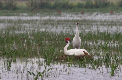 Wildlife officials celebrate Louisiana's first whooping crane hatched in wild since 1939 _lowres