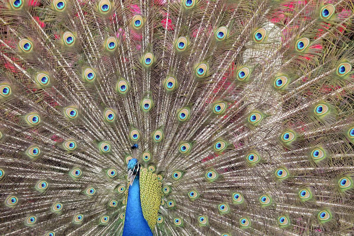 Peacock090.adv.jpg
